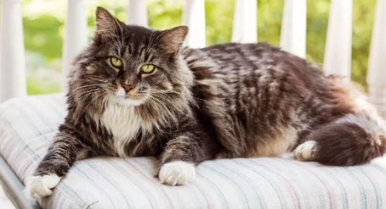 Hoe lang leven Maine Coon katten