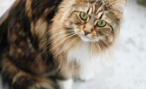 Hoe verzorg je een Maine Coon kat