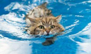 Houden Maine Coon katten van water