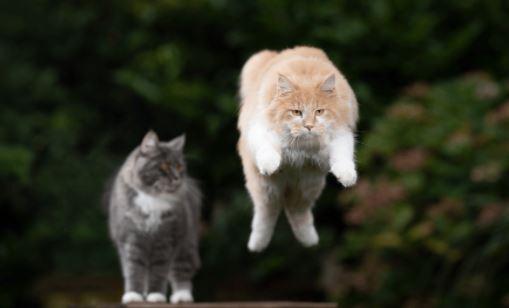 Kunnen Maine Coons springen