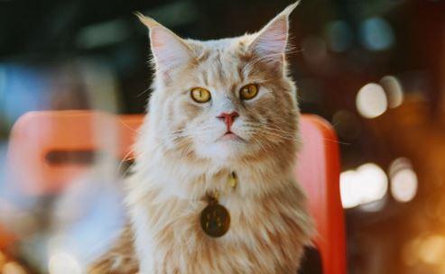 Waar komen Maine Coon katten vandaan