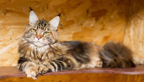 Zijn Maine Coon katten hypoallergeen