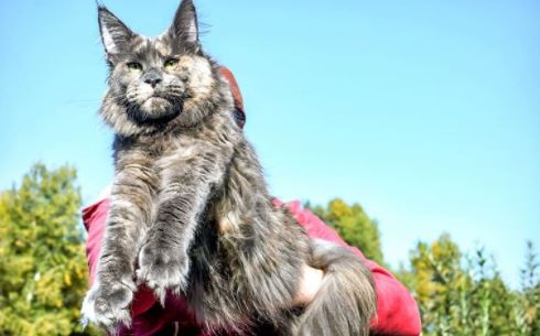 maine coon grootte
